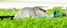 Production de salade high-tech