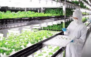 salade-high-tech-2-300x188 Salade high-tech : Projet conduit par les géants de l'informatique au Japon